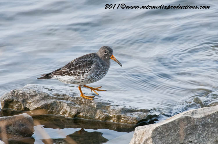 Purple Sandpiper Picture-02