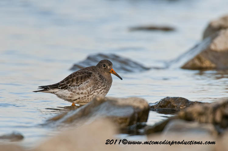 Purple Sandpiper Picture-20