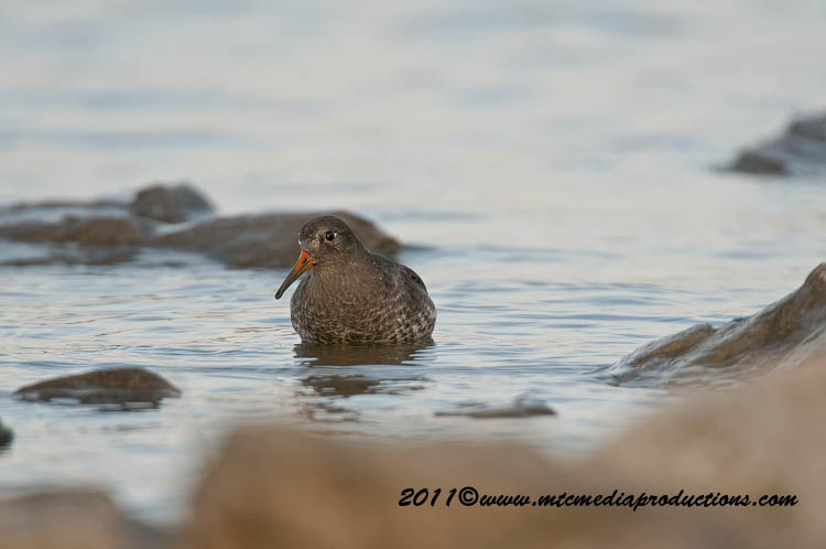 Purple Sandpiper Picture-21