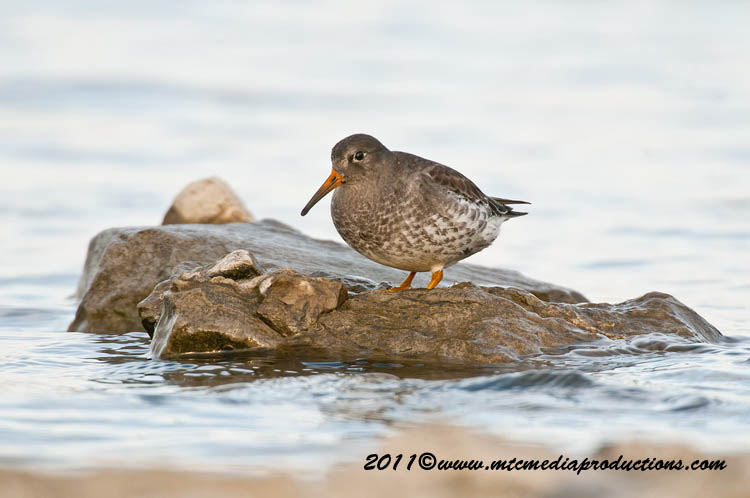 Purple Sandpiper Picture-22
