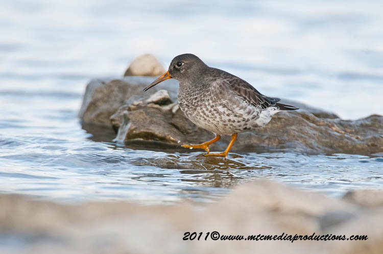 Purple Sandpiper Picture-23