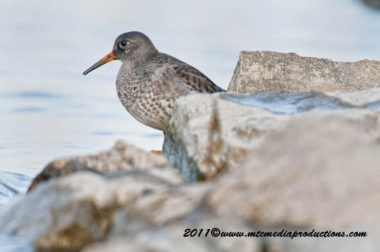 Purple Sandpiper Picture-24