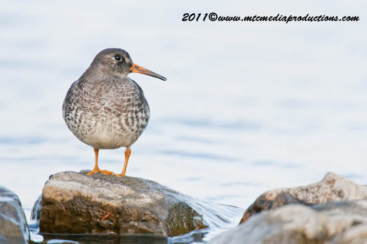 Purple Sandpiper Picture-25