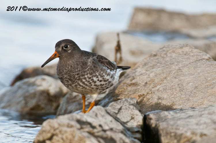 Purple Sandpiper Picture-26
