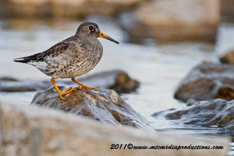 Purple Sandpiper Picture-27