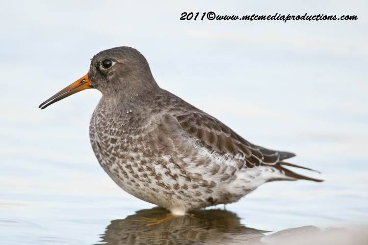 Purple Sandpiper Picture-28