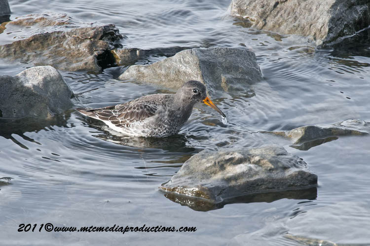 Purple Sandpiper Picture-03