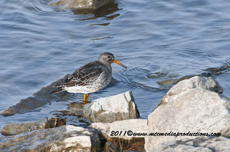 Purple Sandpiper Picture-04