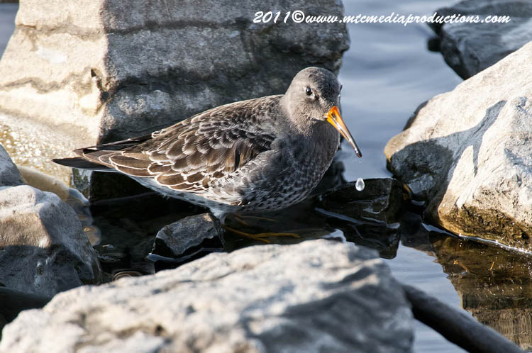 Purple Sandpiper Picture-06