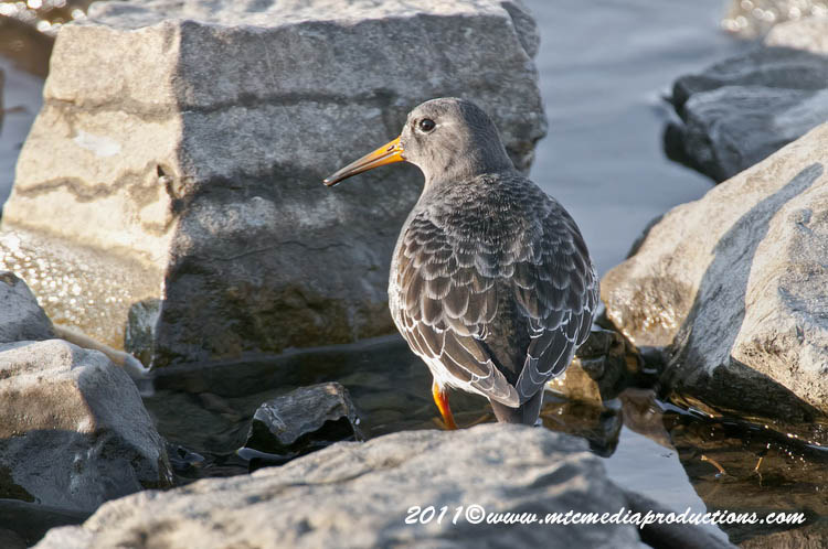 Purple Sandpiper Picture-08