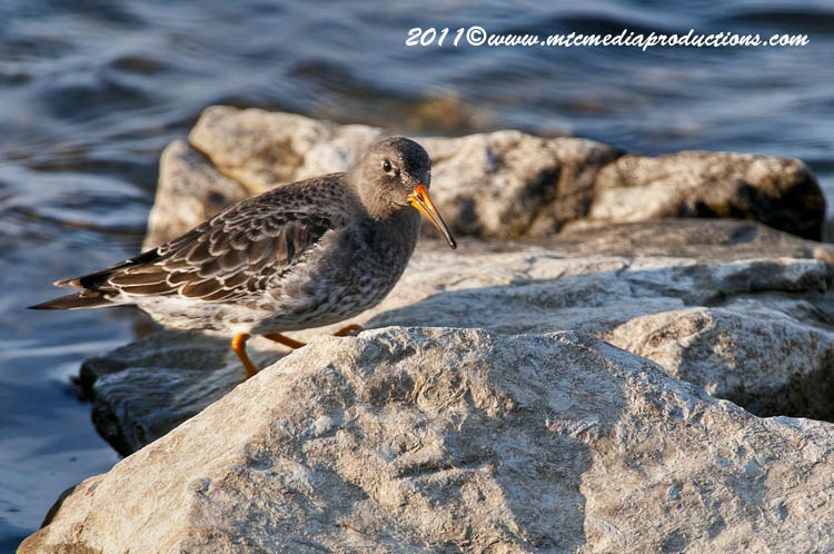 Purple Sandpiper Picture-09