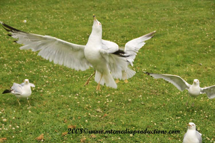 Ringbilled Gull Picture-102