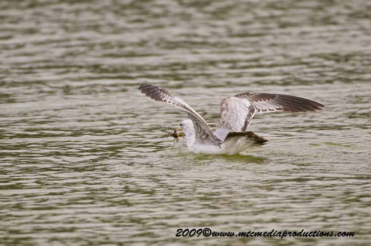 Ringbilled Gull Picture-103