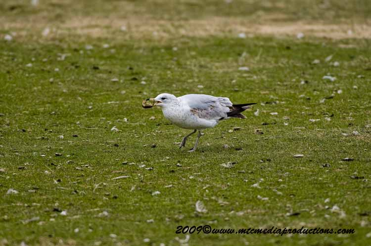Ringbilled Gull Picture-104