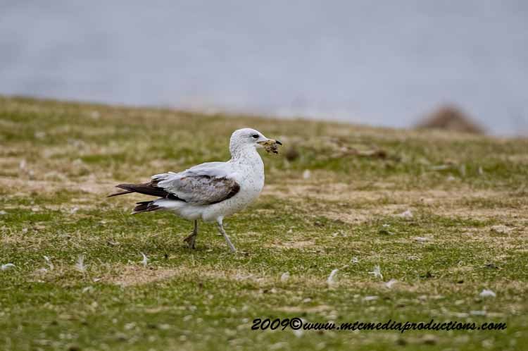 Ringbilled Gull Picture-105