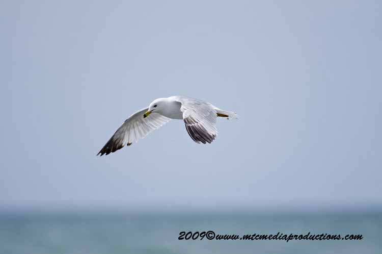 Ringbilled Gull Picture-106
