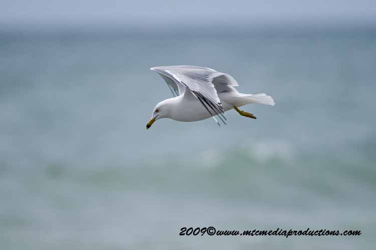 Ringbilled Gull Picture-107