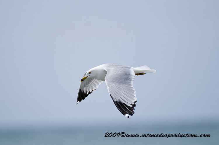 Ringbilled Gull Picture-109