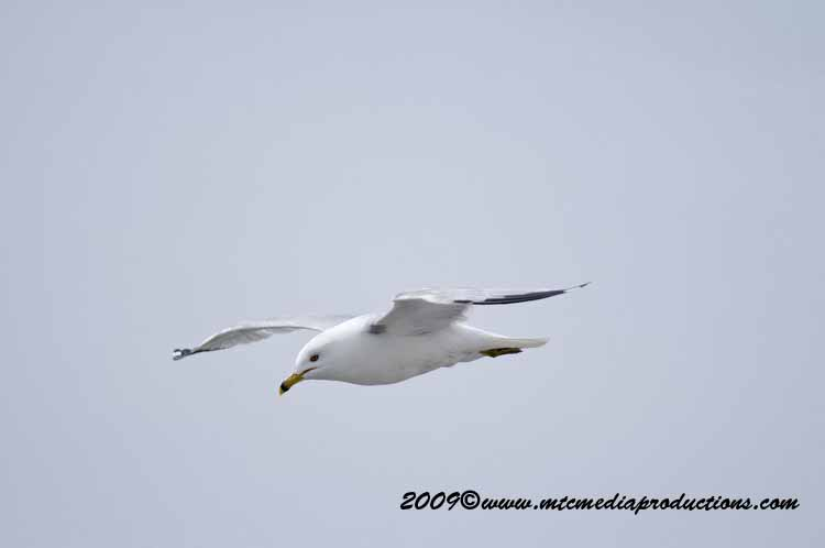 Ringbilled Gull Picture-110