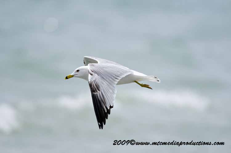 Ringbilled Gull Picture-111
