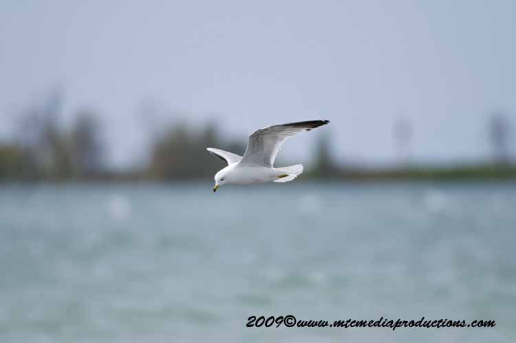 Ringbilled Gull Picture-112