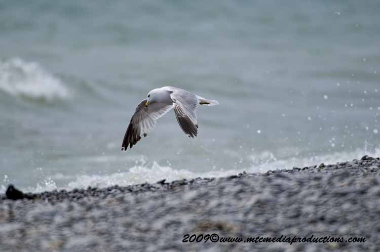 Ringbilled Gull Picture-113