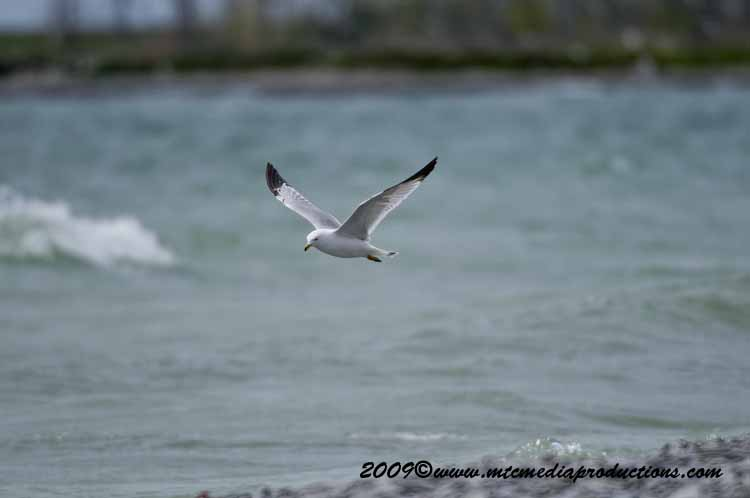 Ringbilled Gull Picture-114