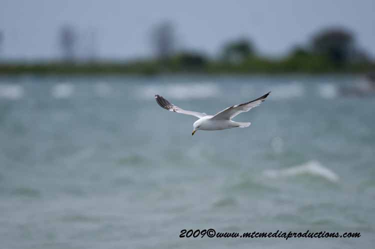 Ringbilled Gull Picture-115