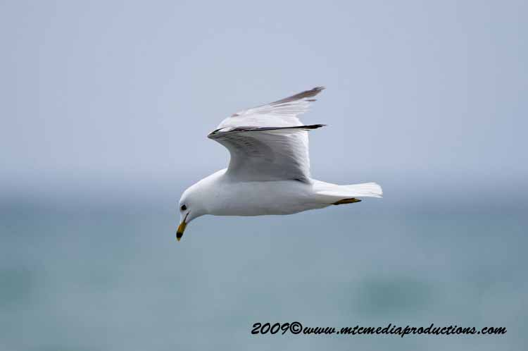 Ringbilled Gull Picture-116