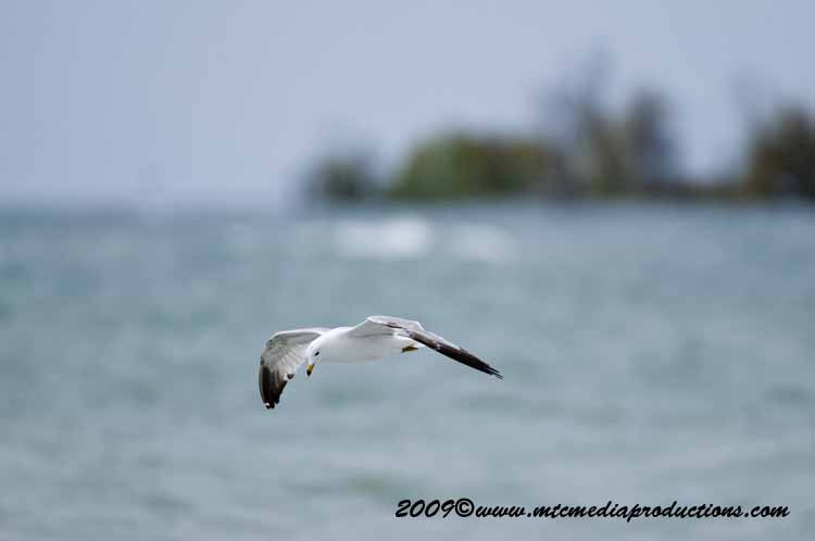 Ringbilled Gull Picture-117
