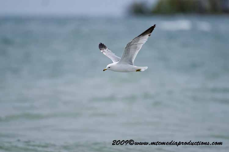 Ringbilled Gull Picture-118