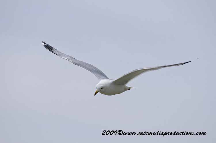 Ringbilled Gull Picture-119