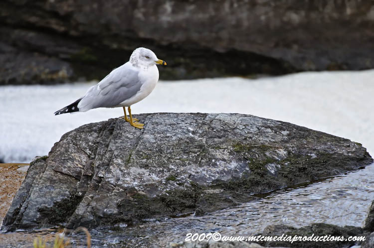 Ringbilled Gull Picture-121