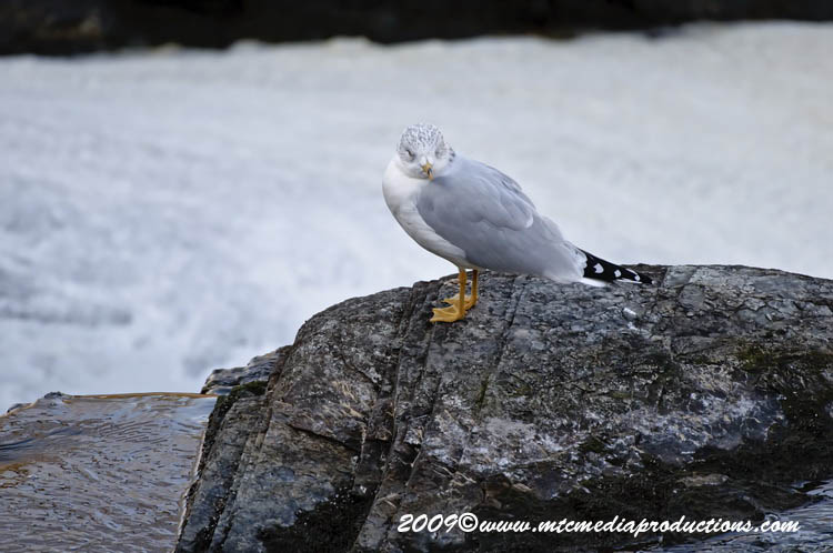 Ringbilled Gull Picture-122