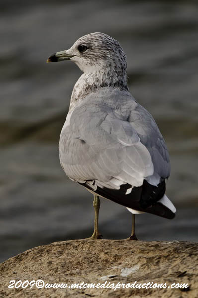 Ringbilled Gull Picture-123