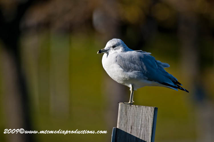 Ringbilled Gull Picture-124