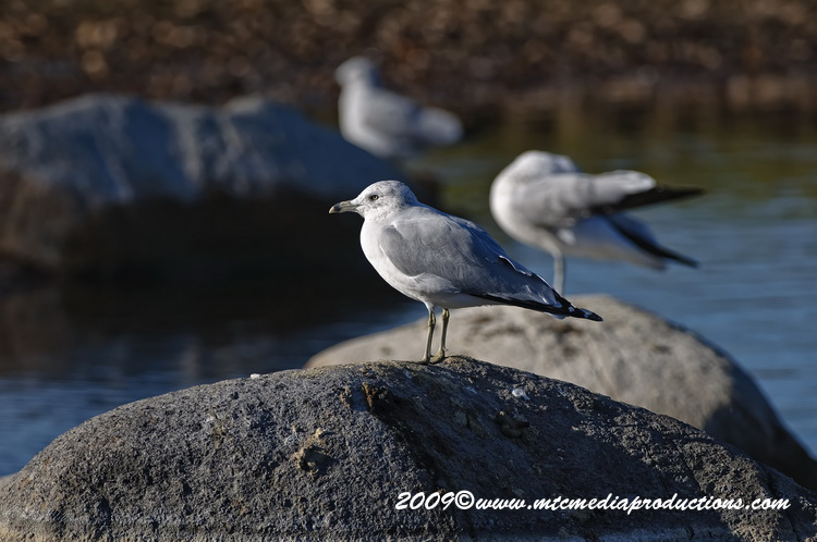 Ringbilled Gull Picture-126