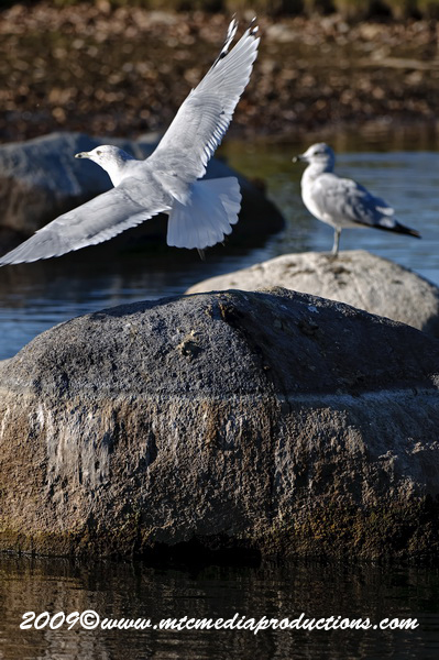 Ringbilled Gull Picture-127