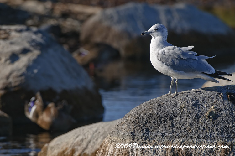 Ringbilled Gull Picture-128