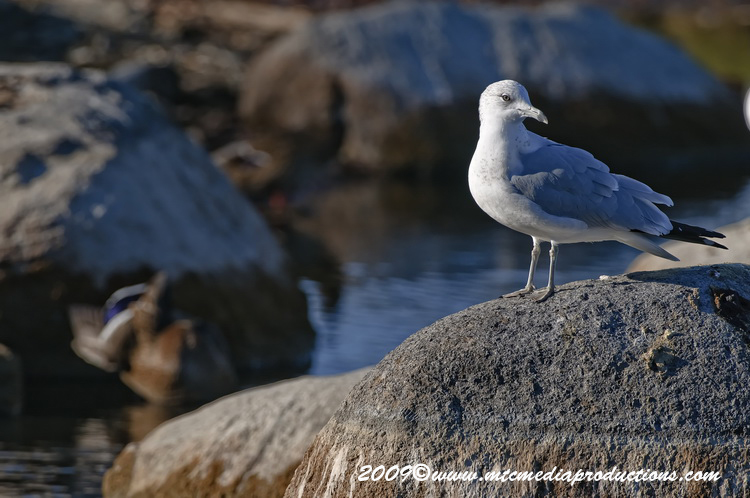 Ringbilled Gull Picture-129