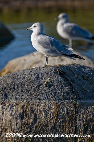 Ringbilled Gull Picture-130