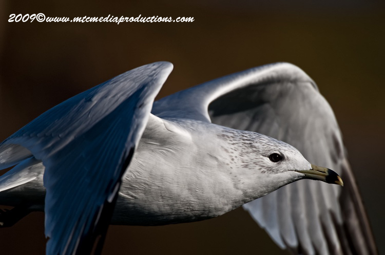 Ringbilled Gull Picture-132