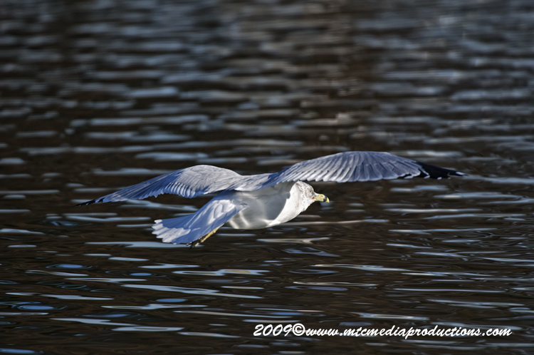 Ringbilled Gull Picture-133