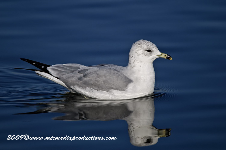 Ringbilled Gull Picture-134