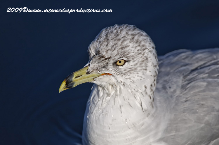 Ringbilled Gull Picture-135