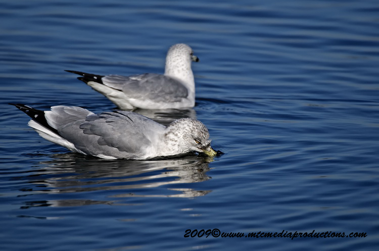 Ringbilled Gull Picture-136