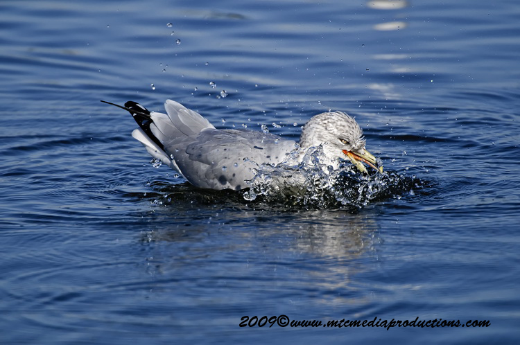 Ringbilled Gull Picture-139