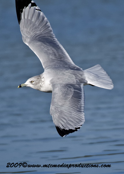Ringbilled Gull Picture-141