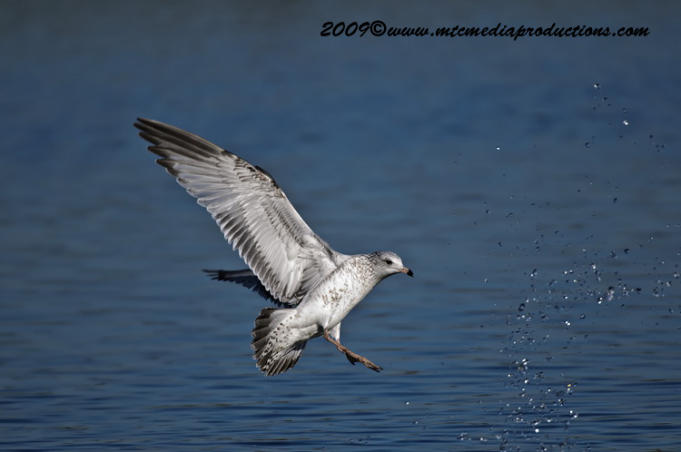 Ringbilled Gull Picture-143