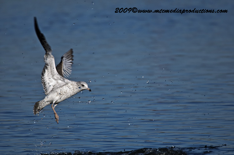 Ringbilled Gull Picture-144